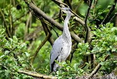 Empty nester. (pstone646) Tags: tree bird heron nature animal fauna kent nest wildlife