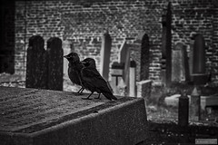 Never alone (Anneke Jager) Tags: cemetry blackandwhite bird monochrome graveyard birds canon mood moody zwartwit group graves national gravestones geographic begraafplaats kerkhof ngg monochroom annekejager