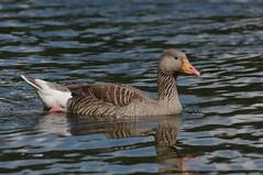 IMGP9799 Greylag, Lackford Lakes, June 2016 (bobchappell55) Tags: wild bird nature water suffolk wildlife lakes reserve goose trust greylag lackford