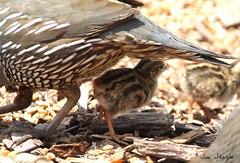 California Quail (newborn chick) (Sue D Sharpe) Tags: californiaquail quail chick newborn fluffy summerland britishcolumbia canada