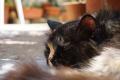 DSC02151 (loderunner80) Tags: gatti micio sonyalpha5000 cats cat sonyalpha ilce5000 animali