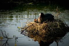 looking up to mum (Tonia van den Bout) Tags: family water duck nest mother waterbird coot