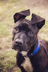 Cuteness overloaded! (doranyiro) Tags: portrait dog pet cute nature beautiful beauty pits animal contrast canon puppy concentration mix eyes funny outdoor ears pitbull dogwalk dogportrait dogshelter pitmix canon40d pitpuppy