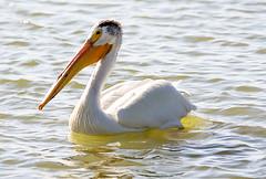 American White Pelican (wyojones) Tags: wyoming cody markham reservoir becks lake park american white pelican pelecanus erythrorhynchos waterfowl wildlife swimming birds water