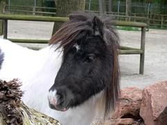 Shetlandpony (Equus ferus caballus) P1010072 (martinfritzlar) Tags: horse zoo pony pferd haustier tiergarten tier nrnberg equus shetlandpony equidae sugetier ferus caballus unpaarhufer