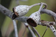 Eucalyptus caesia (Caesia) - cultivated (Arthur Chapman) Tags: australia perth eucalyptus kingspark westernaustralia caesia eucalyptuscaesia taxonomy:class=magnoliopsida taxonomy:kingdom=plantae taxonomy:order=myrtales geo:country=australia taxonomy:genus=eucalyptus taxonomy:phylum=magnoliophyta taxonomy:family=myrtaceae geocode:accuracy=200meters geocode:method=googleearth collectingevent:validdistributionflag=false taxonomy:binomial=eucalyptuscaesia taxonomy:common=caesia