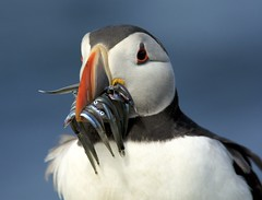 Puffin, Fratercula arctica (Ian Mc Farlane) Tags: farne islands northumberland puffin seahouses