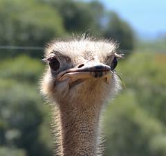 DSC_0281a (Carmelogonzalezclavero) Tags: avestruz