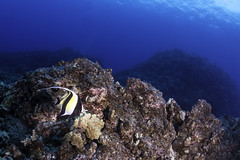 moorish idol (b.campbell65) Tags: kona animal background beautiful blue colorful coral dive diving feeding hawaii island isolated marine moorishidol natural nature ocean pacific photography reef scuba sea seascape swimming travel tropical underwater vacation water wild wildlife