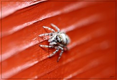 Jumper on the shed (Jon.1972) Tags: canon jumpingspider mpe65 eos7d