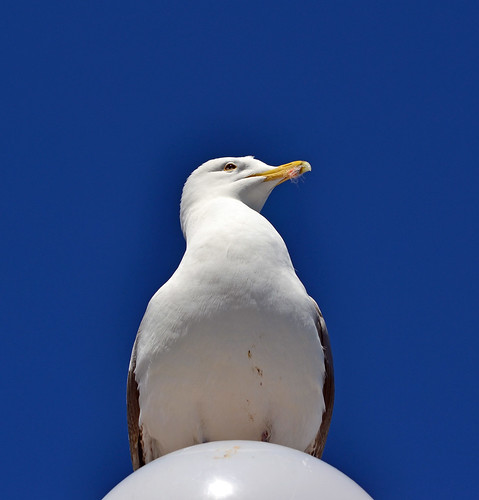 Herring gull  126/365