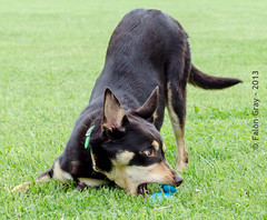 Limit 1 Year Old 05-09-2013-20 (falon_167) Tags: dog australian limit kelpie australiankelpie