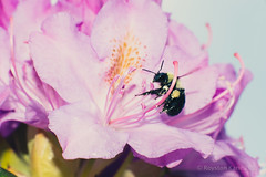 Rhododendrons and Bee-3 (Royston_Kane) Tags: flowers flower backyard bee 105mm kenko nikond800 nikon105mmf25ai
