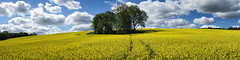 Canola Island (claustral) Tags: trees sky panorama flower yellow spring wide canola copse rx100
