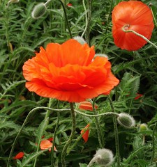 poppies 020 (cellocarrots) Tags: poppies