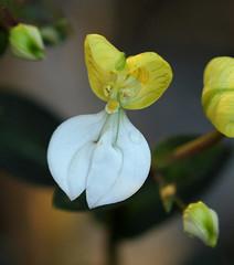 Disperis johnstonii (zimbart) Tags: africa flowers orchidaceae mozambique disperis cheringoma disperisjohnstonii