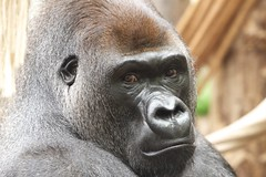 Gorilla London Zoo (paulafrenchp) Tags: london gorilla londonzoo