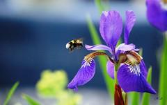 Flight 839 is coming in. (hub en gerie) Tags: iris nature garden insect flight natuur bumblebee tuin hommel greatphotographers irissibirica platinumheartaward fbdg flickraward platinumpeaceaward flickraward5 allnaturesparadise