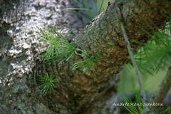Tamarack (Larix laricina) (3 of 5) June 14, 2013 (Andre Reno Sanborn) Tags: larixlaricina hackmatack tamaracktree