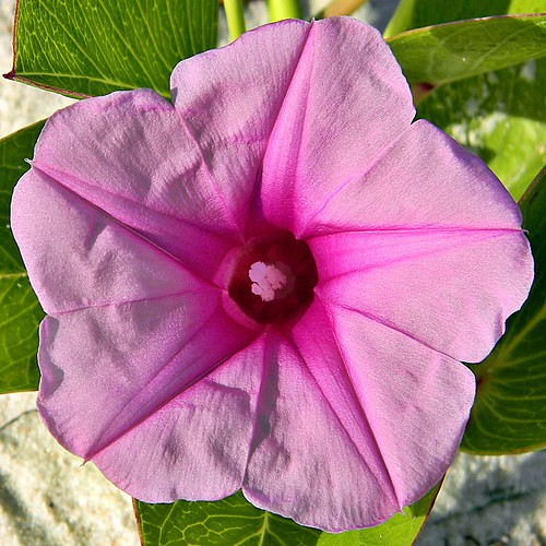The Morning Glory and the Starfish (Ipomoea pes-caprae)