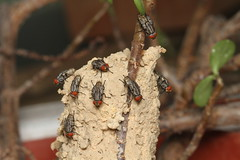 Room service (kampang) Tags: nest roomservice fleshfly potterwasp potterwasplifecycle