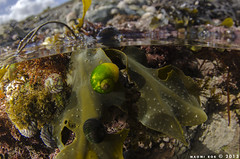 Snailtastic (Naomi Roe) Tags: seaweed green beach yellow marine underwater limegreen under over snail naturalhistory mollusc rockpool halfin halfout