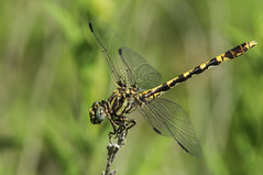 common sanddragon ♀ (explored 6/28/2013) (robert salinas) Tags: dragonflies sigma odonata a57 hornsbybend