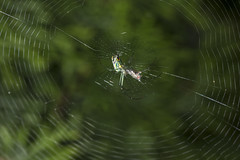 Spider eating series 8 (Richard Ricciardi) Tags: spider eating web spinne araa  araigne ragno timeseries     gagamba    nhn  spidertimeseries