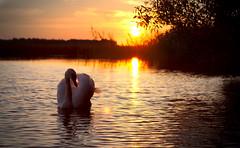 Untitled / Без названия (Boris Kukushkin) Tags: sunset silhouette swan belarus