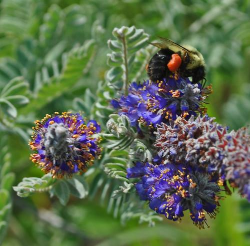 Bumblebee on Leadplant (Amorpha canescens)
