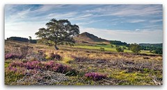 Hawnby Hill and early heather (YorkshireSam) Tags: morning trees summer england panorama sunlight canon landscape countryside scenery heather yorkshire landmark moor northyorkshire northyorkshiremoors northeastofengland weatheredtrees hawnby yorkshiresam