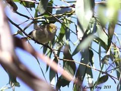 1.15947 Pardalote de Tasmanie / Pardalotus quadragintus / Forty-spotted Pardalote (Laval Roy) Tags: birds aves oiseaux australie passeriformes tasmanie pardalotusquadragintus fortyspottedpardalote lavalroy pardalotedetasmanie pardalotidés