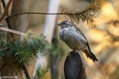 Sperling (Passeridae) - Sparrow (Mladen Janjetovic) Tags: schnbrunn vienna zoo sterreich wildlife sparrow schoenbrunn mladen sperling eos6d sterreich sigma120400 schnbrunn janjetovic sperlingpasseridae