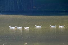 DucksInARow (T's PL) Tags: water virginia duck nikon ducks va stauntonva gypsyhillpark yabbadabbadoo nikontamron d5100 nikond5100 laketams