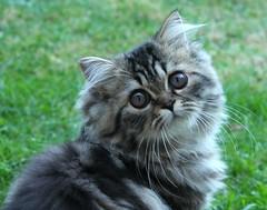 7 (Miiaou) Tags: portrait chaton persan