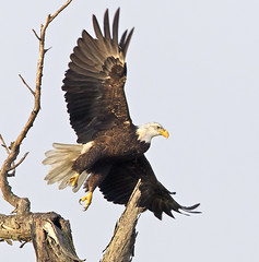 Pleasant Surprise (zarb67) Tags: ohio eagles raptors avian birdsofprey americanbaldeagle birdinflight 1dmkiv 600mmf4lisii14xiii