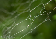 Morning Dew on a Spider Web (Rick Smotherman) Tags: trees summer stpeters nature leaves canon garden outdoors morninglight backyard cloudy overcast september 7d cloudysky canon7d canon100mmf28l