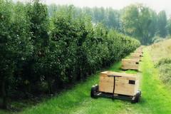 ready to harvest the pears (Adrinne -for a better and peaceful world-) Tags: autumn food pears belgium herfst harvest belgi sidebyside posthoorn boekhoute panasonictz5 addyvanrooij adrinne greenbeautyforlife