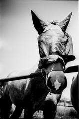 IMG_0012 (froher.ernst) Tags: old bw horse film analog diy kodak lomolca rodinal russian cyrillic pferd 1100 standdevelopment shootfilm standentwicklung horsephotography technipan