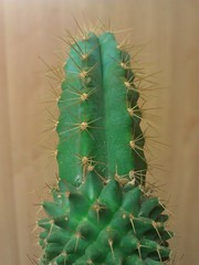 #5 Cock And Balls .Cactus Graft Update October 2013 (Columbiantony Photography) Tags: cactus plants plant strange cacti ball weird experiments colorful experimental stock grow roots experiment balls stranger cock collection exotic collections cutting tropical species mutant growing unusual scion spines root cuttings rare cuts updates collecting grafted mutants techniques mutation grafting graft mutated grafts mutations spiney specialist strangest grafters rarest weirdest spathulata 2013 rootstocks rarer