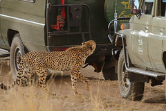 Caged cat! (Rainbirder) Tags: kenya cheetah maasaimara acinonyxjubatus rainbirder
