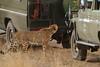 Caged cat! (Rainbirder) Tags: kenya cheetah maasaimara acinonyxjubatus rainbirder