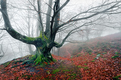 (Mimadeo) Tags: morning autumn trees light mist tree green nature wet leaves misty fog mystery forest landscape leaf scary haze branch gloomy natural ominous magic foggy creepy foliage fairy fantasy bark ethereal mysterious horror trunk mystical nightmare unreal hazy magical twisted murky beech