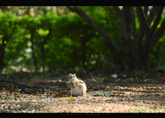Get me the nuts (Bikramjit Dey) Tags: nature beauty squirrel bokeh hyderabad botanicalgarden patience vision:outdoor=0984 vision:plant=0857