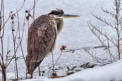 342 - Cold (Explored 8 Dec 2013) (Mike Matney Photography) Tags: winter snow bird heron nature water birds canon illinois midwest december wildlife horseshoelake greatblueheron 2013 eos7d