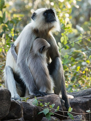 Langur Mother and Young