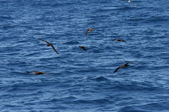 Wedge-tailed Shearwaters Puffinus pacificus (TG23-Birding in a Box) Tags: wollongong puffinuspacificus shearwaters wedgetailedshearwaters