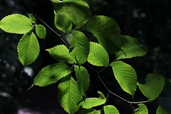 New hazel leaves