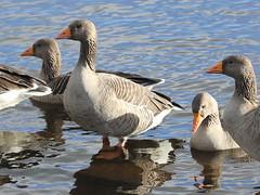Greylag Goose; Anser anser (phenolog) Tags: bird britain great anseranser greylaggoose anatidae anseriformes