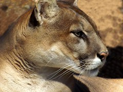 Silent Beauty (ChicaD58) Tags: winter nature outdoors feline bigcat painter puma cougar rescued mountainlion sunnyday anawesomeshot dausettrailsnaturecenter 035a blinkagain allnaturesparadise bestofblinkwinners rehabilitatied